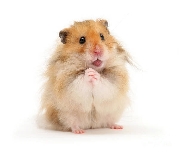 Hamster Photograph - Please Be Mine by Warren Photographic