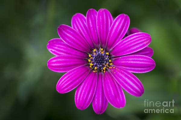 Photograph - Pleasing Purple by Andrea Silies