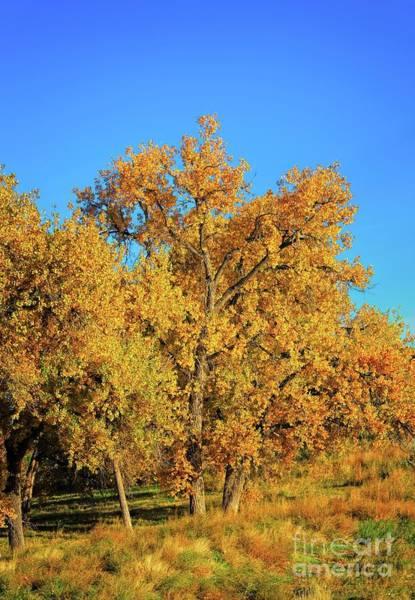Photograph - Plein Air Cottonwoods by Jon Burch Photography