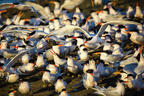 Tern Wall Art - Photograph - Plenty Of Suitors by Brian Knott Photography