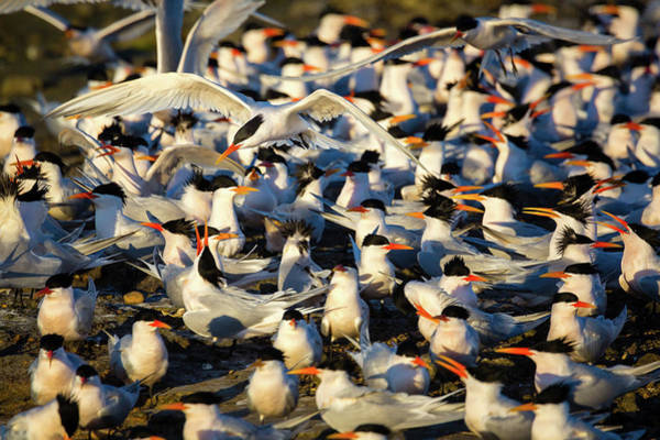 Tern Wall Art - Photograph - Plenty Of Suitors II by Brian Knott Photography