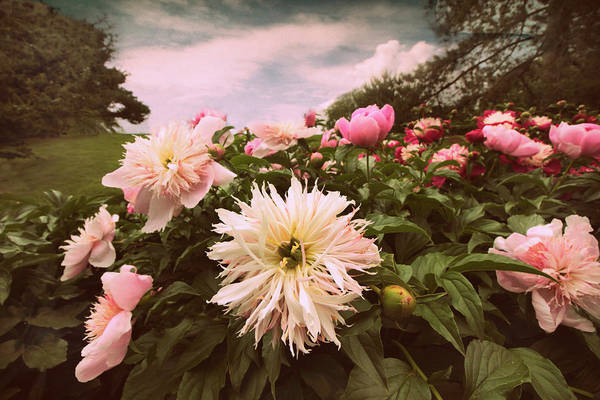 Photograph - Plethora Of Peonies by Jessica Jenney