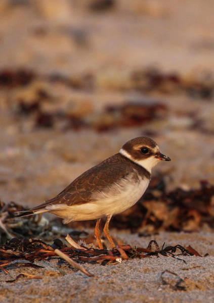Photograph - Plover Bird by Juergen Roth