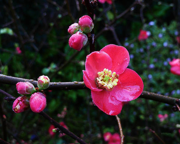 Photograph - Plum Blossom 2 by Xueling Zou