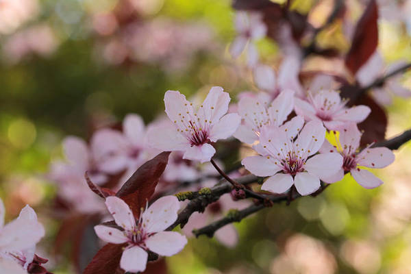 Wall Art - Photograph - Plum Blossom Bokeh Party by Connie Handscomb