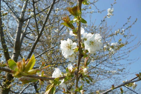 Photograph - Plum Blossom by Laura Greco