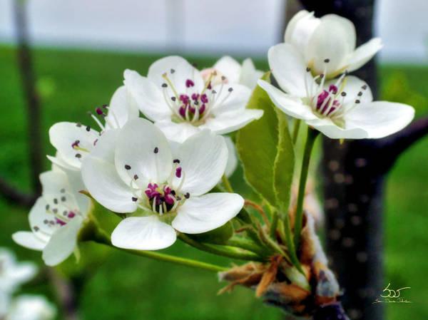 Photograph - Plum Blossom by Sam Davis Johnson