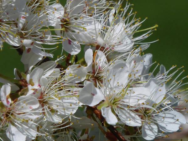 Photograph - Plum Blossoms by Cris Fulton