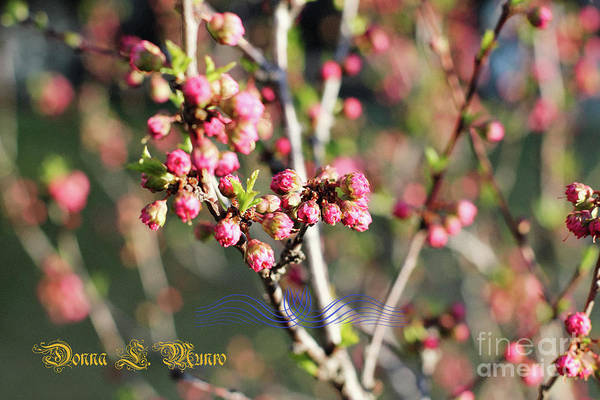 Photograph - Plum Branch Blooms by Donna L Munro