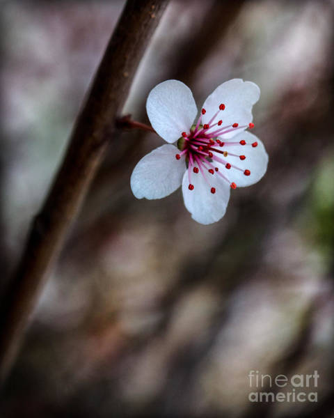 Photograph - Plum Flower by Michael Arend