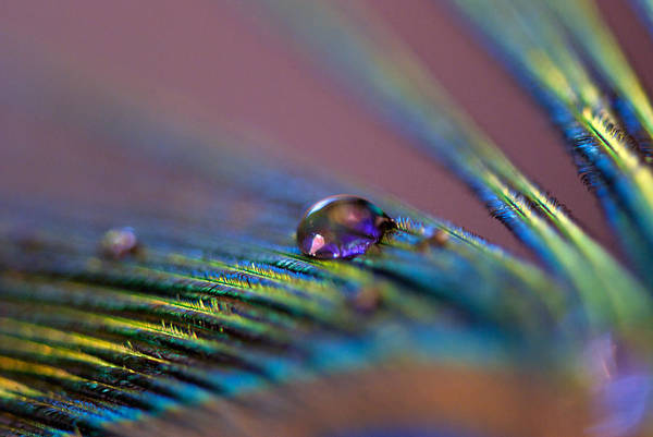 Peacock Photograph - Plum Heart by Lisa Knechtel