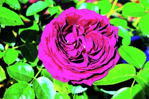 Photograph - Plum Purple Rose by Cynthia Guinn