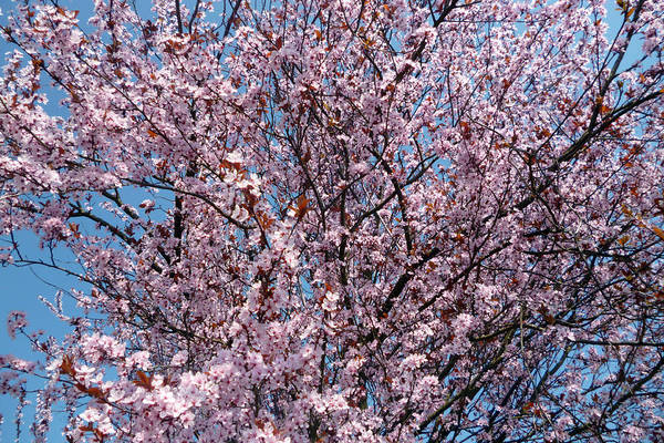 Photograph - Plum Tree by Laura Greco