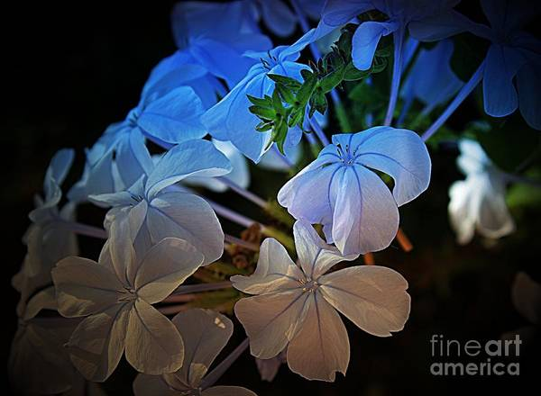 Plumbaginaceae Photograph - Plumbago At Sunset by Clare Bevan