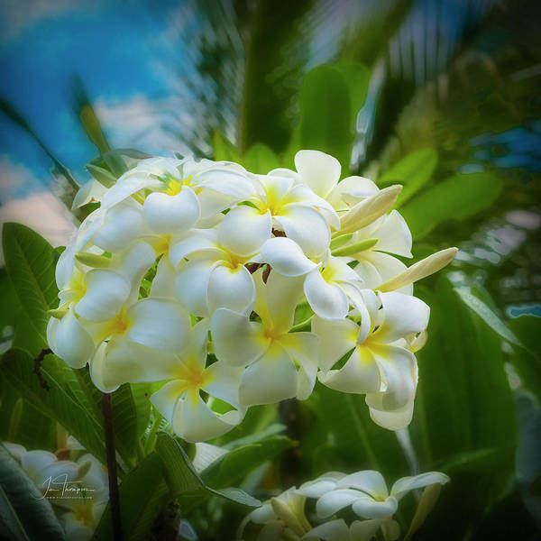 Photograph - Plumeria 5 by Jim Thompson