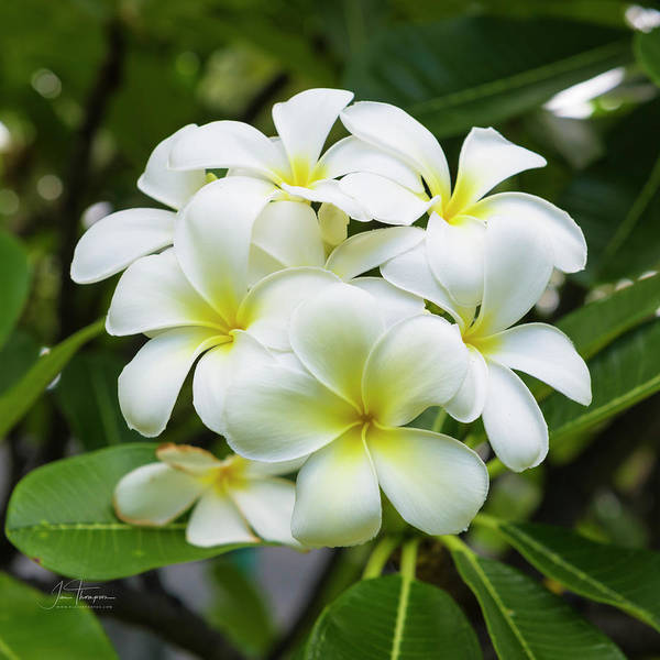 Photograph - Plumeria 9 by Jim Thompson