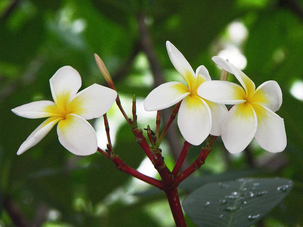Frangipani Photograph - Plumeria After The Rain by Kathleen Wong