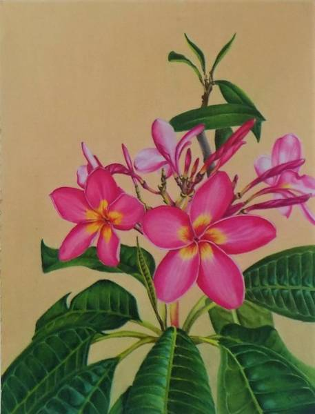 Drawing - Plumeria by Chuck Caputo