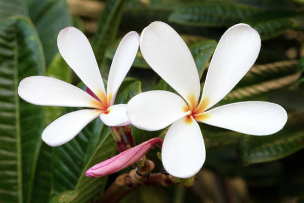 Photograph - Plumeria Flowers Of Hawaii by Pierre Leclerc Photography