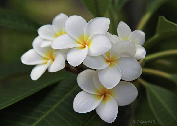 Tropical Photograph - Plumeria - Golden Hearts by Kerri Ligatich