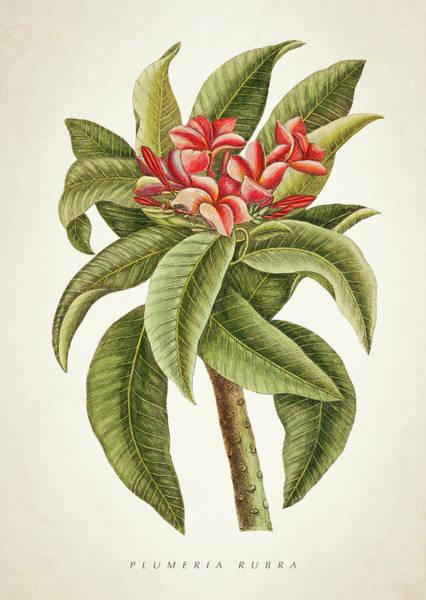 Wall Art - Digital Art - Plumeria Rubra Botanical Print by Aged Pixel
