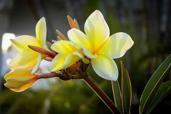 Photograph - Plumeria by Terri Hart-Ellis