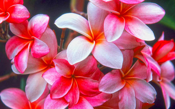 Photograph - Plumeria by Thomas M Pikolin