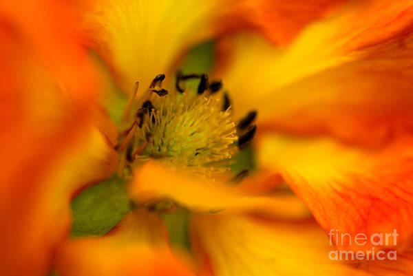 Cinquefoil Photograph - Plush Petals by Venetta Archer