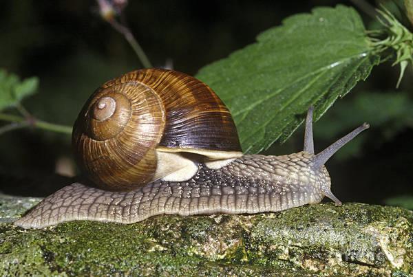 Wall Art - Photograph - Pneumostome Of A Burgundy Snail by Jean-Louis Klein & Marie-Luce Hubert