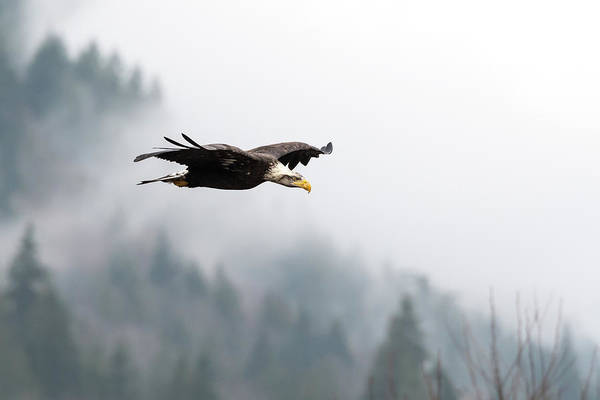 Flying Eagle Photograph - Pnw Eagle by Ian Stotesbury
