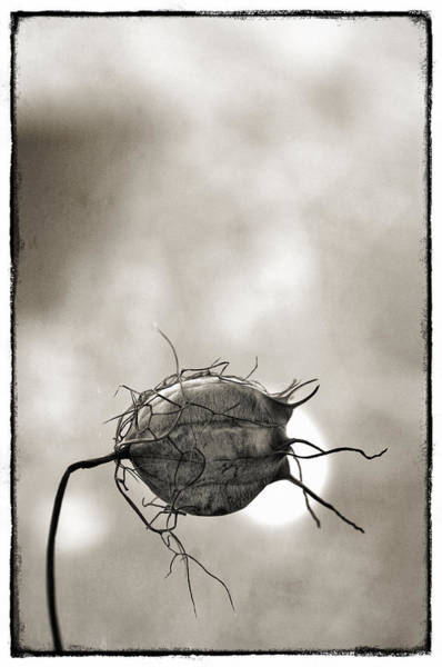 Love In The Mist Photograph -    Love In A Mist by Robert Brown