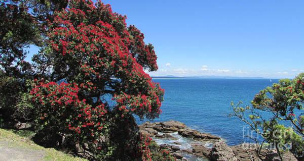 Pohutukawa Photograph - Pohutukawa Tree by Ray Carrington