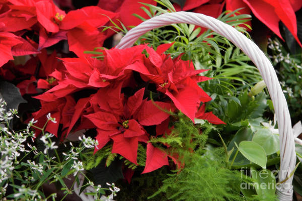 Photograph - Poinsettia Basket by Jill Lang
