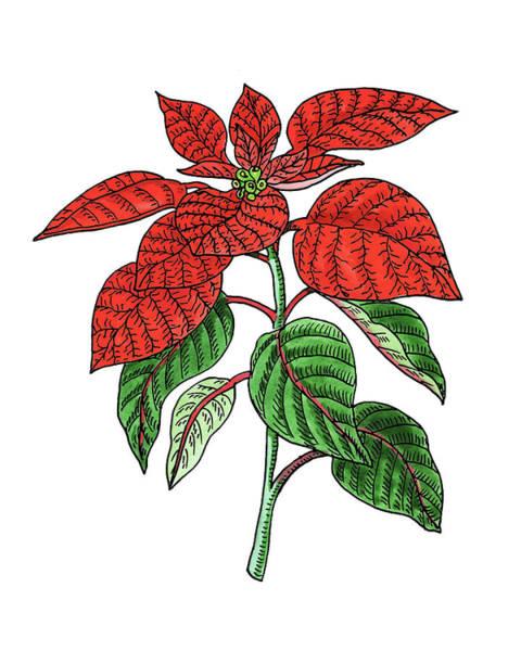 Painting - Poinsettia Plant Watercolor by Irina Sztukowski