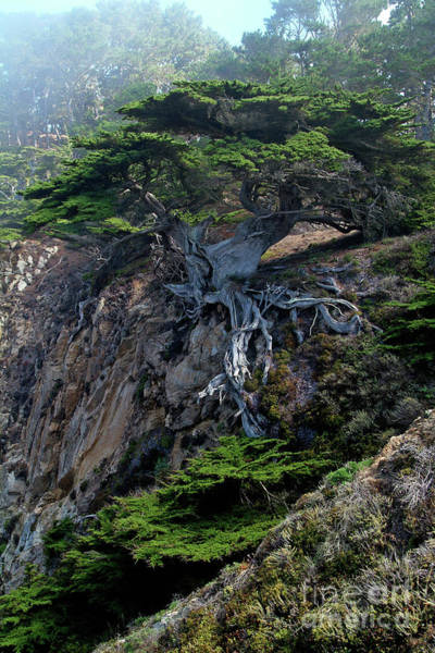 Wall Art - Photograph - Point Lobos Veteran Cypress Tree by Charlene Mitchell