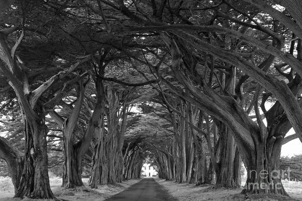 Photograph - Point Reyes Cypres Tunnel Black And White by Adam Jewell