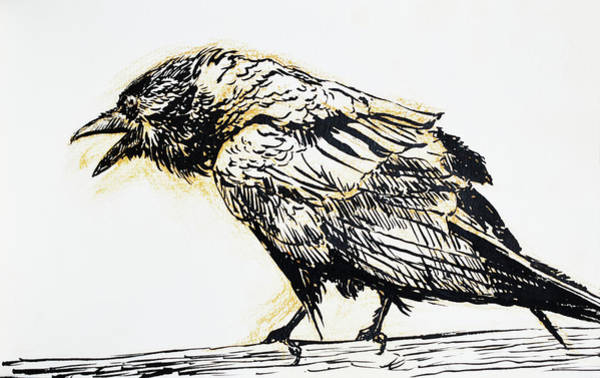 Raven Drawing - Point Reyes Raven by Tracie Thompson