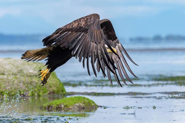 Bif Photograph - Point Roberts Eagle 2 by Ian Stotesbury