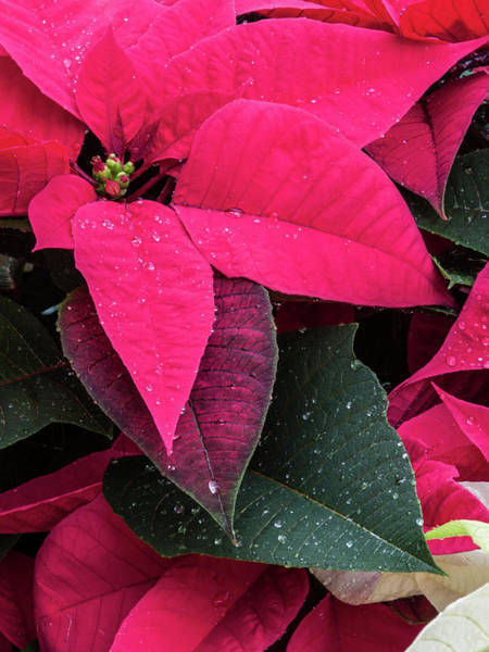 Photograph - Pointsettia  by Stewart Helberg