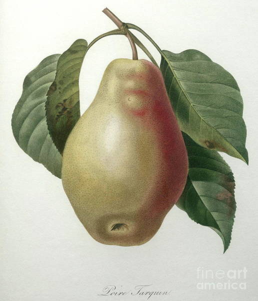 Wall Art - Painting - Poire Tarquin by Pierre Joseph Redoute