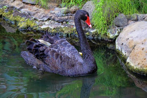 Photograph - Poised Black Swan by Pamela Walton