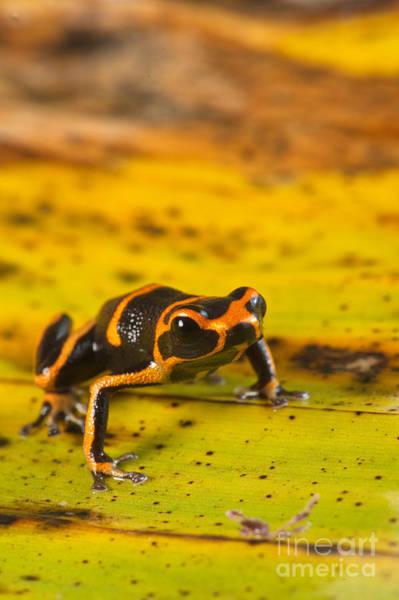 Photograph - Poison Arrow Frog by Francesco Tomasinelli