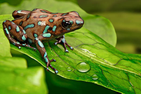 Frog Photograph - poison art frog Panama by Dirk Ercken