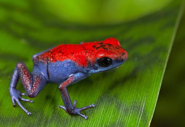 Frogs Photograph - poison dart frog Escudo by Dirk Ercken