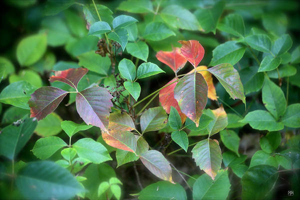 Photograph - Poison Ivy In August by John Meader