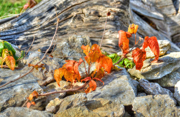 Photograph - Poison Ivy by Sam Davis Johnson