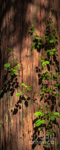 Photograph - Poison-oak On Incense Cedar by Alexander Kunz