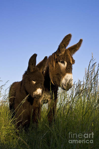 Equus Africanus Photograph - Poitou Donkey And Foal by Jean-Louis Klein & Marie-Luce Hubert