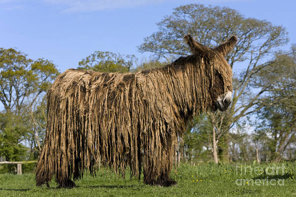Equus Africanus Photograph - Poitou Donkey by Jean-Louis Klein & Marie-Luce Hubert
