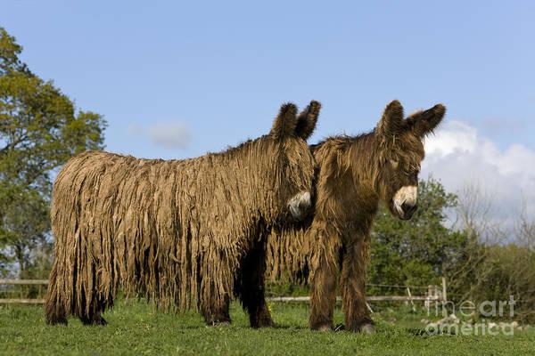 Equus Africanus Photograph - Poitou Donkeys by Jean-Louis Klein & Marie-Luce Hubert